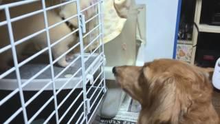 犬猫の中に新入りフェレットがやって来ました。とは言え、娘がお世話を...