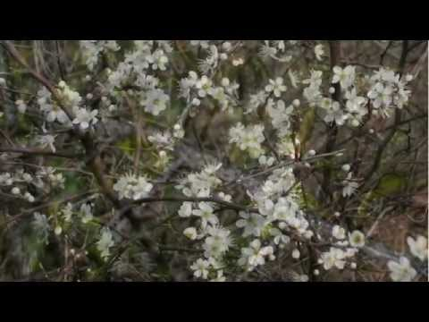 Blackthorn - Prunus spinosa