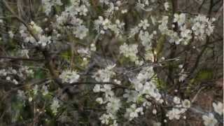Video Blackthorn - Prunus spinosa download MP3, 3GP, MP4, WEBM, AVI, FLV Desember 2017