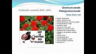 Geranium zonale pelargonium zonale Costa brava red: plante annuelle