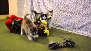 Siberian Husky Puppies (girls) - Sandakan Kennel