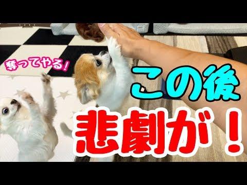 【チワワの本性】食べ物が絡んだ時は躊躇なく本性を現す子犬チワワ【chihuahua】【cute dog】