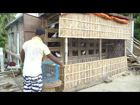How to build a pigeon loft in your home