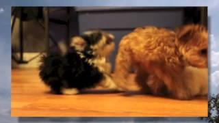 Apri Pomeranian / Toy (yochon-teddy Bear-aca Bichon) Puppies | Bear-fancy-homer-curly