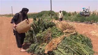 ISIS's War on Drugs: Extremists Torch Marijuana Fields