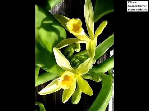Vanilla Orchid   Flower Breed Pictures Of Vanilla Orchid