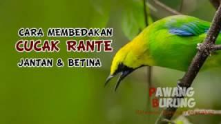Gambar cover CIRI BURUNG CUCAK  RANTE JANTAN & BETINA