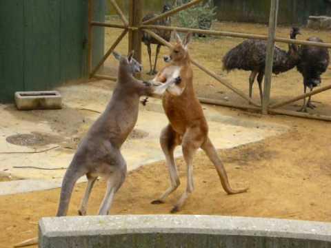 Pelea de canguros kangaroo fight youtube - Canguro en casa madrid ...