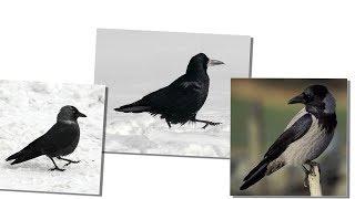 Чёрные птицы. Грач, галка, сорока для детей