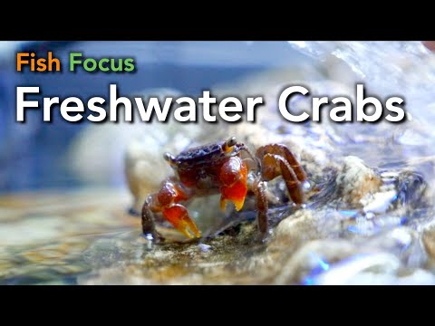 Fish Focus - Freshwater Crabs