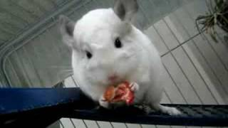 My chinchillas are enjoying a dehydrated strawberry