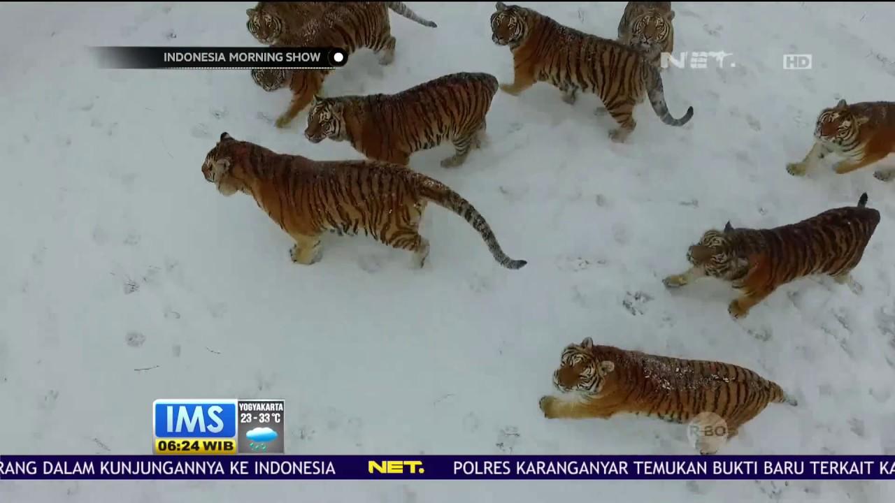 Singa dan Harimau