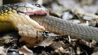 Warning: Here's a King Cobra Swallowing Another Snake Whole