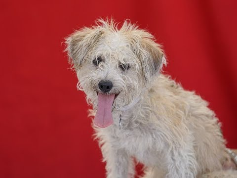 RESCUED! A5092453 Max | Maltese / Norfolk Terrier