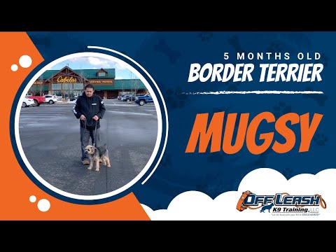 Mugsy | 5 month old | Border Terrier | NOVA Dog Trainer | Obedience | Off Leash Heel