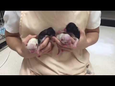 生まれたてのチワワの赤ちゃんとお母さん【feegoo】
