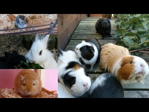 Daily Pet Routine | Guinea Pigs, Hamster, Rabbits & Gerbils!