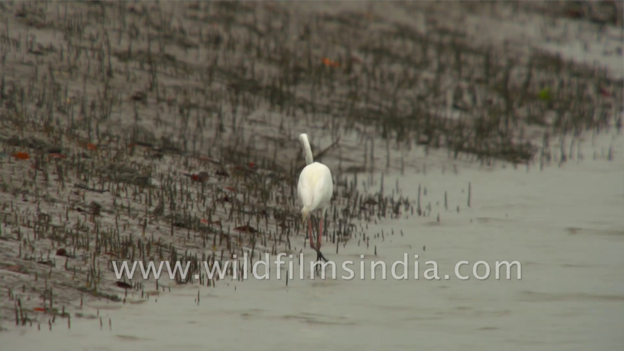 Great Egret On Prowl >> Rowing Down The Sundarbans Delta Along Sundarkhali River Large Or