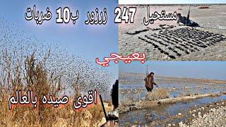 اقوى صيده لطائر الزرزور (البعيجي)  بالوطن العربي  والشواء في الصحراء