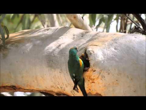 Mulga Parrot feeding young