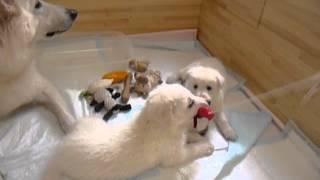 ホワイトスイスシェパード ホワイトスイスシェパード仔犬 犬 仔犬 白い...