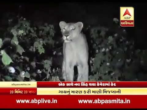 Nine lions at Amreli revenue area, Video viral
