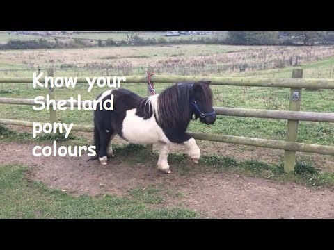 Know your Shetland pony colours - TV Episode 127