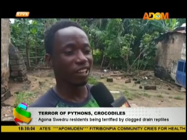 Terror of Pythons, Crocodiles at Agona Swedru (19-10-18)