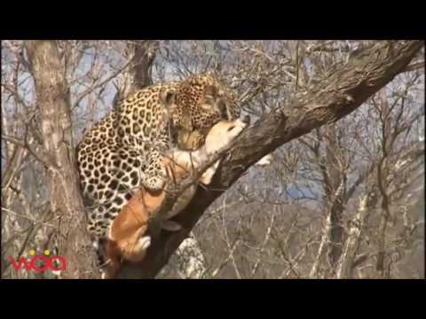 Леопарды, Гепарды и Ягуары против ПИТБУЛЕЙ!!! HD
