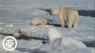 Белые медведи на острове Чамп (1975)