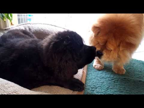 Yum yum - Chow chow and Newfoundland having a moment....