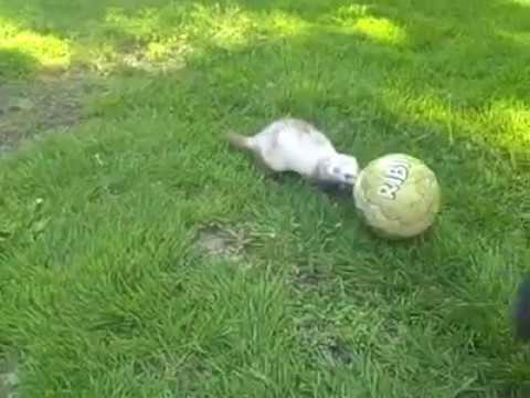 Ferret & Dog Play Soccer!