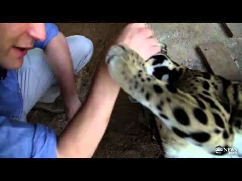 Clouded Leopards Amaze 'GMA' Anchor