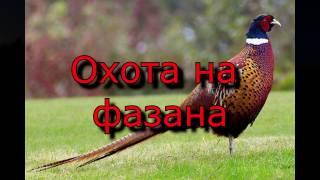 Охота на фазана в Крыму видео