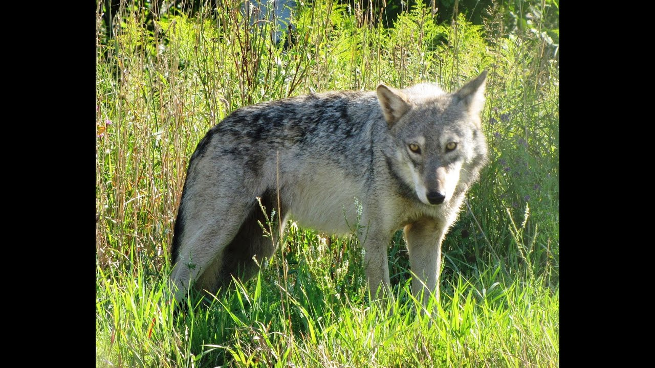 a research on the wolfs population and extinction 09062018 research categories  population dynamics a population describes a group of individuals of the same  the population declines quickly to extinction.