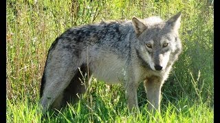 ► GLOBAL WOLF - Full Documentary