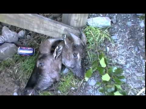 Thar Jagt ved Whymper Hut i NZ