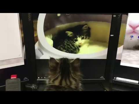 マンチカン#14 リプロチャンネル#1視聴中猫 子猫