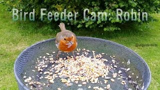 Bird Feeder Cam: Meet A Robin In 1080p Hd