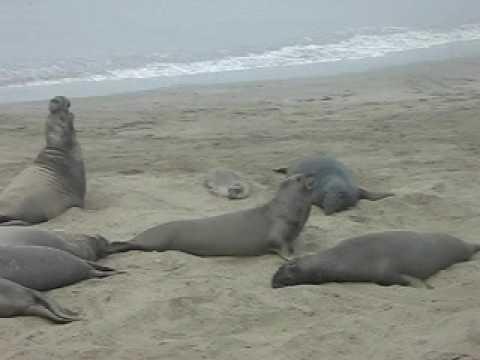 5 miles north of San Simeon, CA-Elephant Seals