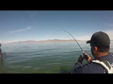 Pyramid Lake Nevada, MONSTER 16.85 pound, Lahontan Cutthroat Trout