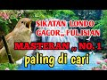 Sikatan Londo Gacor Ful Isian Rol Panjang  Mp3 - Mp4 Download