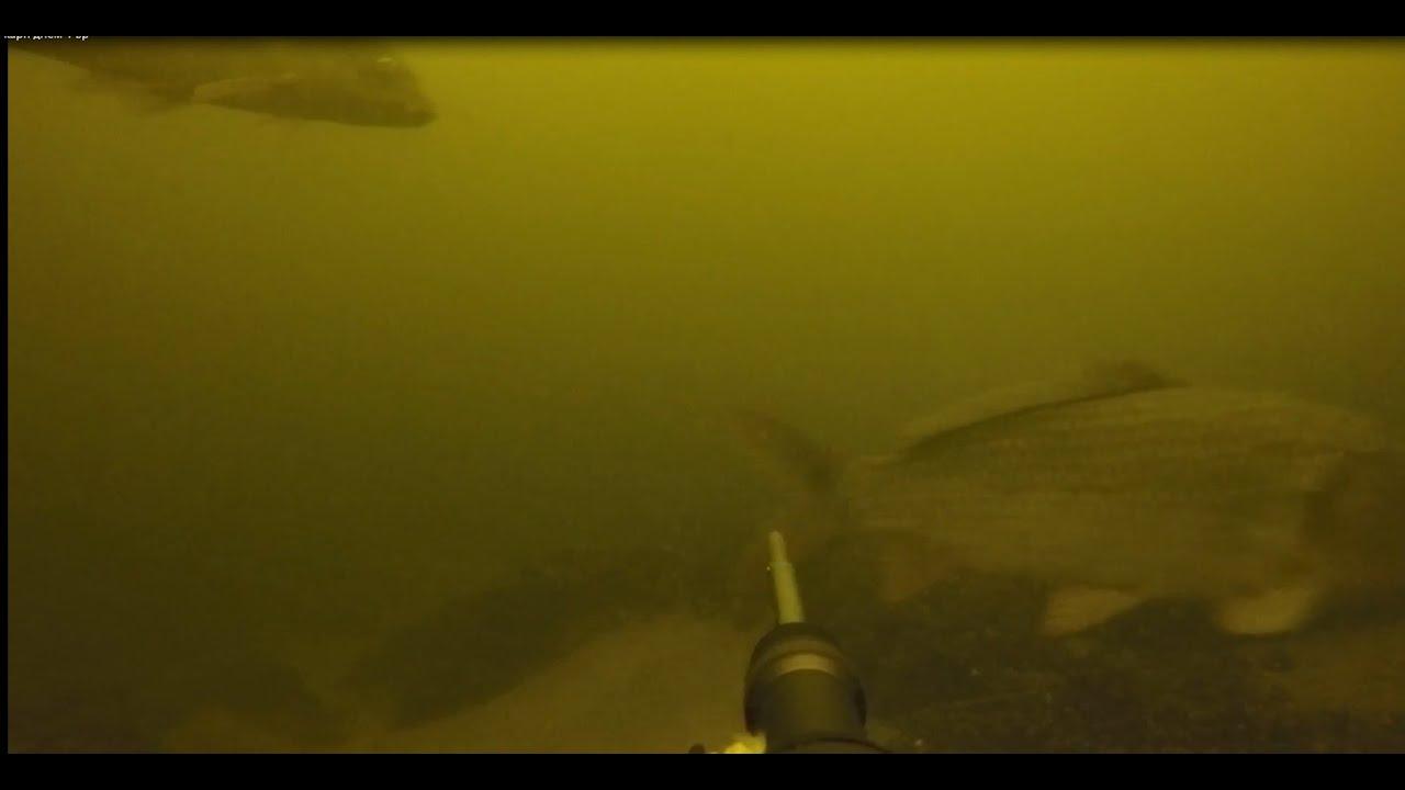 Подводная охота в Запорожье: стаи карпов, хорошие условия для ПО и красиво проплывающая рыбка