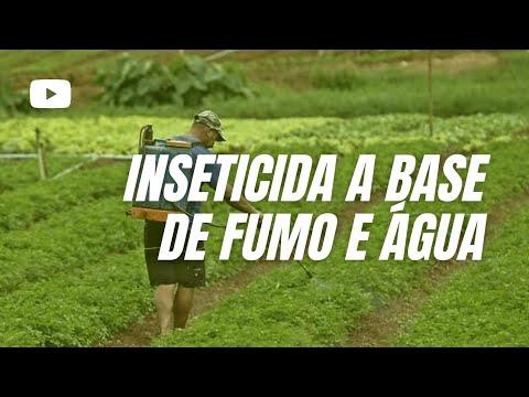 Aprenda a preparar um inseticida a base de fumo e água que tem apresentado sucesso   Gazetaweb com