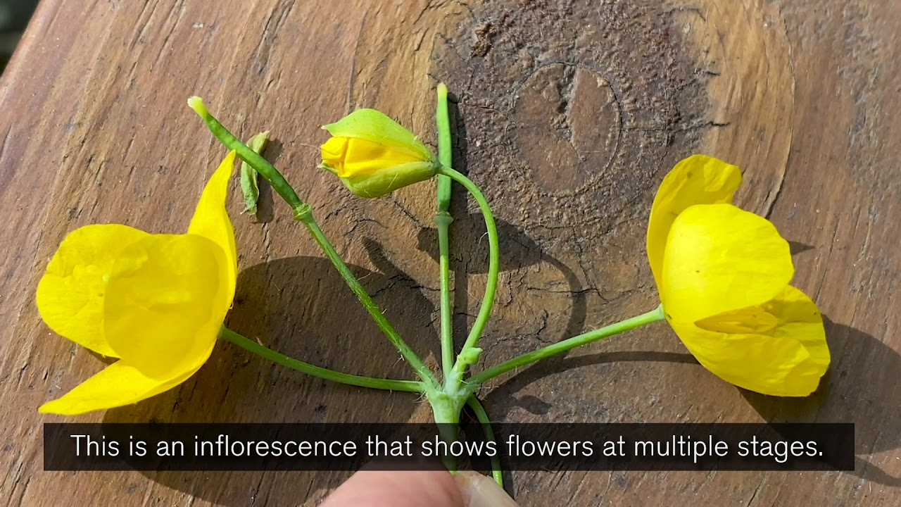 Backyard Botany: Greater Celandine