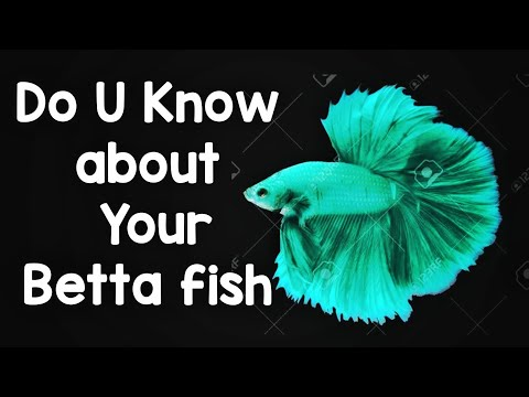 Interesting facts about Betta fish