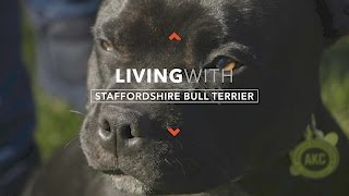 ALL ABOUT LIVING WITH STAFFORDSHIRE BULL TERRIERS