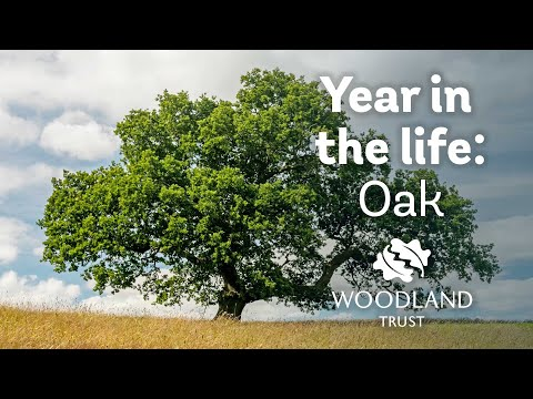 A Year in the Life of an English Oak