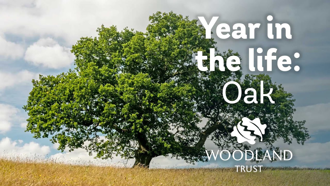 Oak (Quercus robur) - Woodland Trust