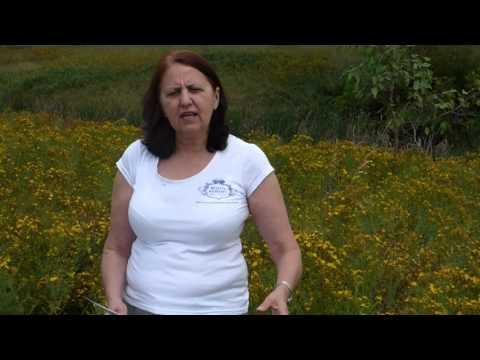 Medicinal properties of St John's Wort -   Danuta Hulajko, Sydney Naturopathic herbalist explains it